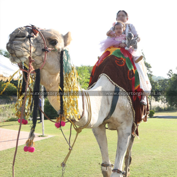 Camel Ride for Birthday and other Parties in Chandigarh